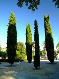 Jardín de las Tres Culturas, Cipreses
