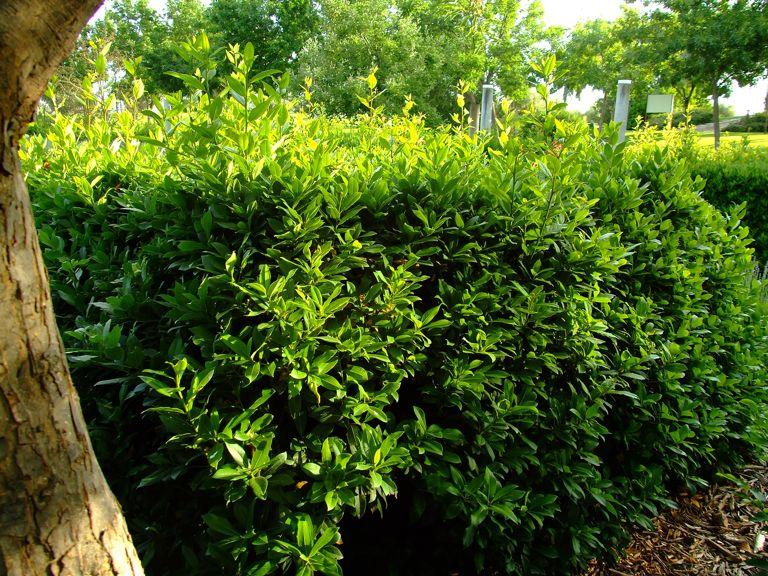 Jard n de las tres culturas for Laurel de jardin