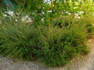 Jardín de las Tres Culturas, Mirto