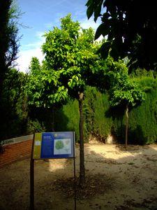 Jardín de las Tres Culturas, Naranjo
