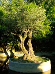Jardín de las Tres Culturas, Olivo