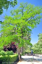 Huerto del Francés en el Retiro, Acacia de tres espinas (Gleditsia triacanthos)