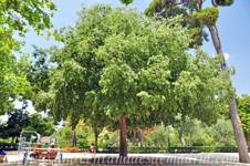 Retiro, Almez (Celtis australis)