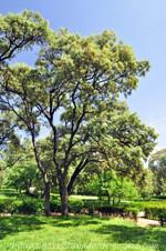 Retiro, Encina (Quercus ilex)
