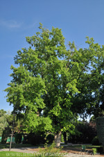 Senda botánica del Retiro número cinco, Arce plateado (Acer saccharinum)