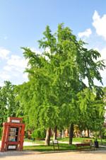 Retiro, Ginkgo (Ginkgo biloba) de los Jardines de Herrero Palacios