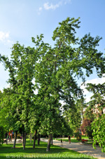 Retiro, Liquidámbar (Liquidambar styraciflua) de los Jardines de Herrero Palacios