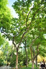 Retiro, Paulonia (Poulownia tomentosa) de los Jardines de Herrero Palacios
