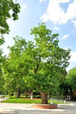 Retiro, Sófora de Japón (Sophora japonica) de los Jardines de Herrero Palacios