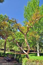 Jardines de la Rosaleda en El Retiro, Árbol de Júpiter (Lagerstroemia indica)