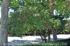 Jardines de la Rosaleda en El Retiro, Cefalotejo (Cephalotaxus harringtonia)