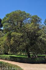 Jardines de la Rosaleda en El Retiro, Fotinia (Photinea serrulata)