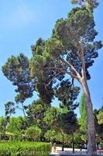 Jardines de la Rosaleda en El Retiro, Pino Carrasco (Pinus halepensis)