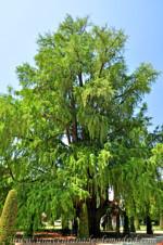 Senda botánica del Retiro número uno, Ahuehuete (8) (Taxodium mucronatum Ten)