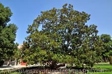 Senda botánica del Retiro número uno, Magnolio (9) (Magnolia grandiflora)