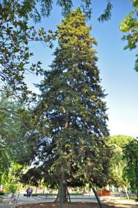 Senda botánica del Retiro número cinco, Abeto de Masjoan (Abies x masjoanii)