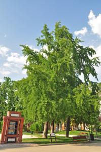 Senda botánica del Retiro número cinco, Ginkgo (Ginkgo biloba)