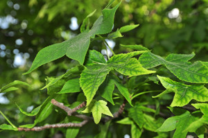 Senda botánica del Retiro número cinco, Hojas de Liquidámbar (Liquidambar styraciflua)