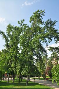 Senda botánica del Retiro número cinco, Liquidámbar (Liquidambar styraciflua)