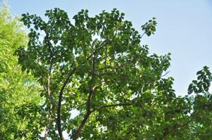 Senda botánica del Retiro número cinco, Copa de Paulonia (Poulownia tomentosa)
