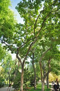 Senda botánica del Retiro número cinco, Paulonia (Poulownia tomentosa)