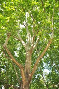 Senda botánica del Retiro número cinco, Ramas del Plátano de sombra (Platanus orientalis)