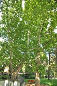 Senda botánica del Retiro número cinco, Plátano de sombra (Platanus orientalis)
