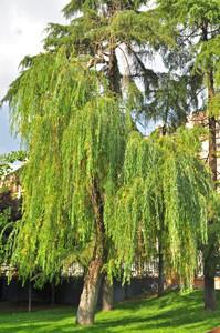 Senda botánica del Retiro número cinco, Sauce llorón (Salix babilonica)