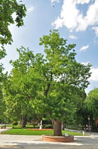 Senda botánica del Retiro número cinco, Sófora de Japón (Sophora japonica)