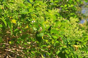 Senda botánica del Retiro número cuatro, Hoja del Aligustre de Japón