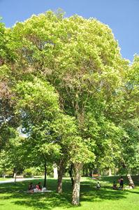 Senda botánica del Retiro número cuatro, Aligustre de Japón