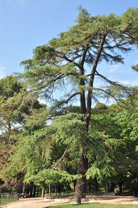 Senda botánica del Retiro número cuatro, Cedro del Himalaya