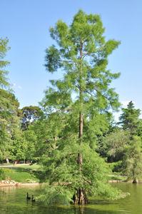 Senda botánica del Retiro número cuatro, Ciprés de los Pantanos