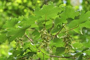 Senda botánica del Retiro número cuatro, Hojas y frutos del falso plátano
