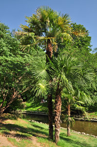 Senda botánica del Retiro número cuatro, Palmito gigante