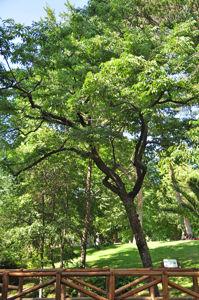 Senda botánica del Retiro número cuatro, Palosanto