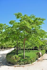 Senda botánica del Retiro número dos, Acacia de Constantinopla (13) (Albizia julibrissin)