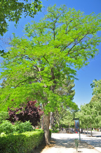 Senda botánica del Retiro número dos, Acacia de tres espinas (19) (Gleditsia triacanthos)