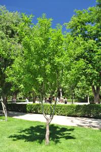 Senda botánica del Retiro número dos, Almendro (20) (Prunus amygdalus dulcis)