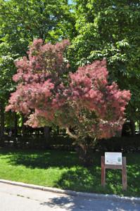 Senda botánica del Retiro número dos, Árbol de las pelucas (22) (Cotinus coggygria)