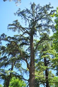 Senda botánica del Retiro número dos, Cedro del Atlas (16) (Cedrus atlantica)