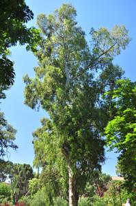Senda botánica del Retiro número dos, Eucalipto rojo (17) (Eucalyptus camaldulensis)