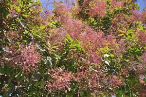Senda botánica del Retiro número dos, Fruto del Árbol de las pelucas (22) (Cotinus coggygria)