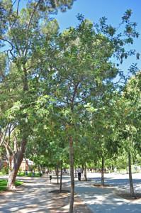 Senda botánica del Retiro número dos, Mimosa (18) (Acacia dealbata)