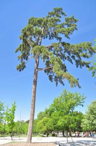 Senda botánica del Retiro número dos, Pino laricio (21) (Pinus nigra)