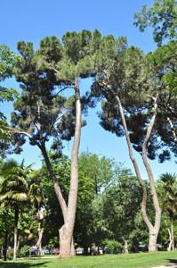 Senda botánica del Retiro número dos, Pino piñonero (15) (Pinus pinea)
