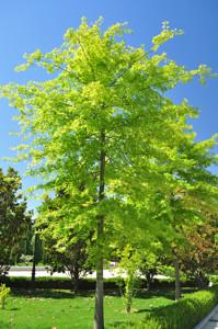 Senda botánica del Retiro número dos, Roble de los Pantanos (12) (Quercus palustris)