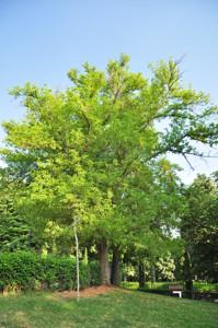 Senda botánica del Retiro número seis, Arce negundo (62) (Acer negundo)