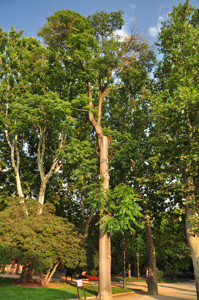 Senda botánica del Retiro número seis, Ailanto (71) (Ailanthus altissima)
