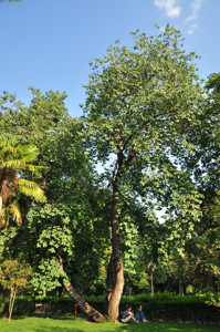 Senda botánica del Retiro número seis, Árbol del amor (63) (Cercis siliquastrum)